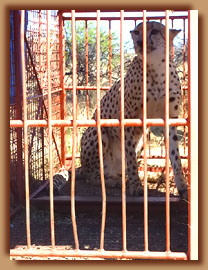 Cheetah in box trap