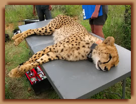 GPS sat collar on cheetah male