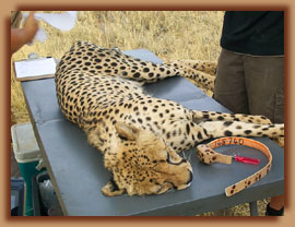 Cheetah immobilised for collaring