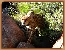 Released collared cheetah