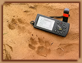 Cheetah footprints next to GPS